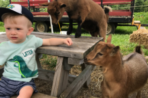 harvey and goats