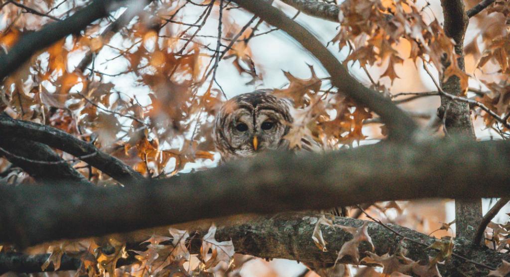 barred owl - birding for kids